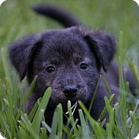 Adopt A Pet :: Mia pup Stormy -16 - Lithia, FL