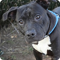 American Pit Bull Terrier Mix Dog for adoption in Berkeley, California - Bud *Adoption Fee Waived*