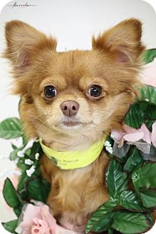 Chihuahua/Toy Poodle Mix Dog for adoption in Canton, Connecticut - Pola