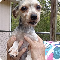 Yorkie, Yorkshire Terrier Dog for adoption in Crump, Tennessee - Heidi