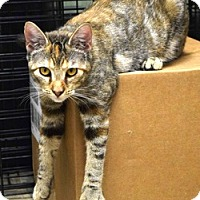 Domestic Shorthair Cat for adoption in Houston, Texas - Sierra