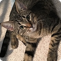 Adopt A Pet :: Polly - Romeoville, IL