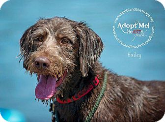 Labrador Retriever/Poodle (Standard) Mix Dog for adoption in Freeport, New York - Bailey