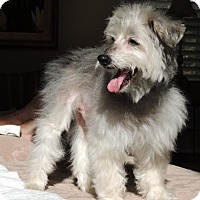 Standard Schnauzer Dog for adoption in Washington, D.C. - POPPIE