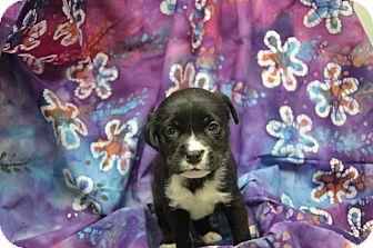 Labrador Retriever Mix Puppy for adoption in Alexandria, Virginia - Godiva (Chocolate Crew)