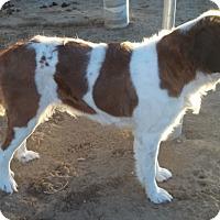 Adopt A Pet :: Roxy - Sparks, NV