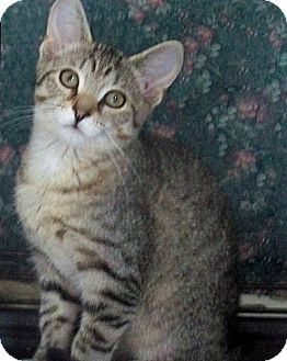 American Shorthair Cat for adoption in Rochester, New York - Jane