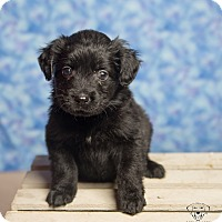 Adopt A Pet :: Puppies! - Henderson, NV