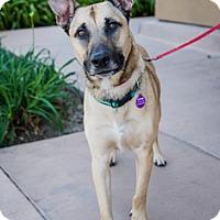 Adopt A Pet :: Nitro D5109 (was D5135) - Fremont, CA