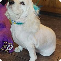 Adopt A Pet :: Misty Sue - Las Vegas, NV