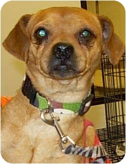 Pug/Beagle Mix Dog for adoption in Lucerne Valley, California - HP Pug