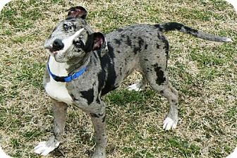 catahoula american bulldog mix nelson adopted puppy reisterstown md catahoula 5305