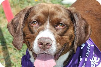 Springer Spaniel Beagle Mix