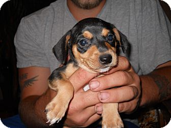 Dachshund/Miniature Pinscher Mix Puppy for adoption in springtown, Texas - batman