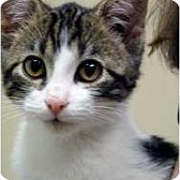 Adopt A Pet :: Maya - Chicago, IL