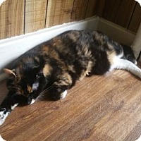 Calico Cat for adoption in Olive Branch, Mississippi - Cali (Ward Foster)