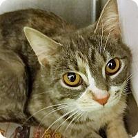 Adopt A Pet :: Amidala - Chicago, IL