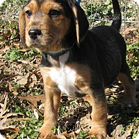 Adopt A Pet :: Snoopy - Hartford, CT