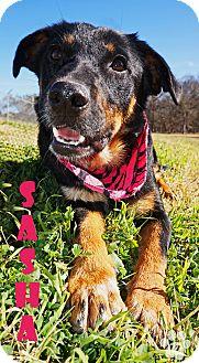 Australian Shepherd/German Shepherd Dog Mix Dog for adoption in Converse, Texas - Sasha