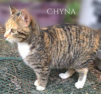 Calico Kitten for adoption in Columbia, Tennessee - Chyna