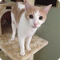 Domestic Shorthair Cat for adoption in Redlands, California - Dutch