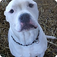 American Bulldog Mix Dog for adoption in Rockmart, Georgia - Georgia