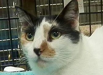 Calico Cat for adoption in Hallandale, Florida - Chiclet