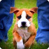 Adopt A Pet :: Bullseye~adopted! - Glastonbury, CT