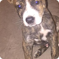 Adopt A Pet :: Malik - Rocky Mount, NC