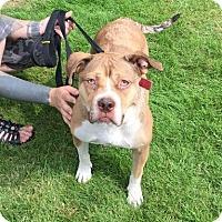 Adopt A Pet :: Dulcinea - Foster Needed - Detroit, MI