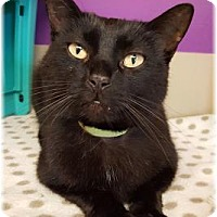Domestic Shorthair Cat for adoption in Welland, Ontario - Tyron