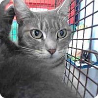 Domestic Shorthair Cat for adoption in San Bernardino, California - URGENT on 9/13 San Bernardino