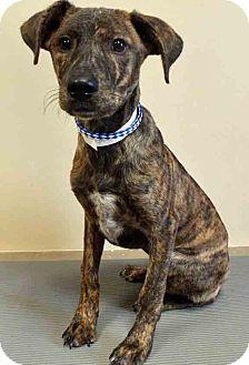 Terrier (Unknown Type, Medium) Mix Puppy for adoption in Oswego, Illinois - Ingrid
