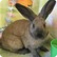 Adopt A Pet :: Hazelnut - Paramount, CA