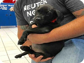 American Bulldog Mix Puppy for adoption in Canfield, Ohio - MONTEGO