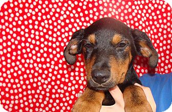 Rottweiler/German Shepherd Dog Mix Puppy for adoption in Oviedo, Florida - Neon