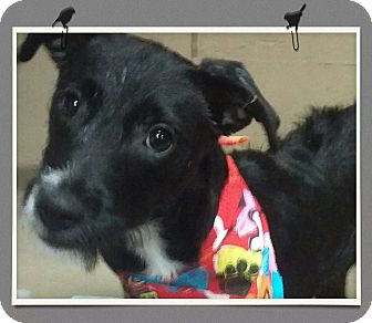 Norfolk Terrier/Labrador Retriever Mix Puppy for adoption in Apache Junction, Arizona - Kima