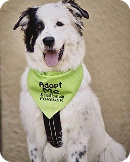 Border Collie/Great Pyrenees Mix Dog for adoption in Allen, Texas - Orion