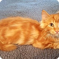 Domestic Longhair Kitten for adoption in Fort Worth, Texas - Jerry
