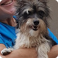 Yorkie, Yorkshire Terrier/Jack Russell Terrier Mix Dog for adoption in Baileyton, Alabama - Shiloh