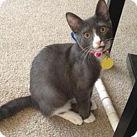 Domestic Shorthair Cat for adoption in Roslyn, Washington - JoJo