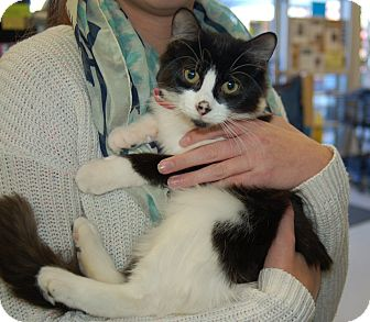 Domestic Mediumhair Kitten for adoption in Great Mills, Maryland - Squeakers