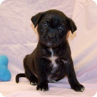 Corgi/Chihuahua Mix Puppy for adoption in Fayetteville, Tennessee - 16-d11-007 Tommy