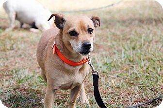 Chihuahua Dog for adoption in Ruston, Louisiana - Woody