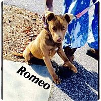 Adopt A Pet :: Romeo - oxford, NJ