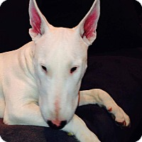 Adopt A Pet :: Bacci - Nanuet, NY