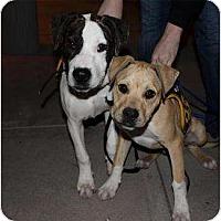 Adopt A Pet :: Rondo - Mesa, AZ