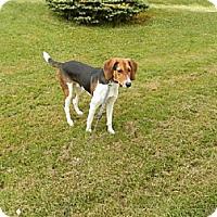 Foxhound Dog for adoption in Jefferson, Ohio - Jimmy