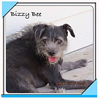 Adopt A Pet :: Bizzy Bee - San Antonio, TX