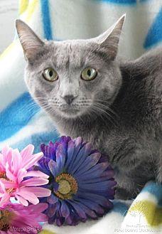 Domestic Shorthair Cat for adoption in Monroe, Michigan - Sylvie